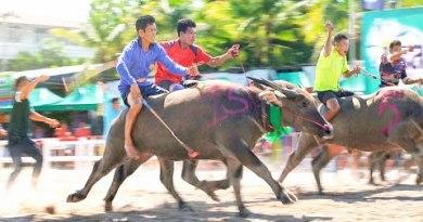 Stir Racing Buffalos in Thailand