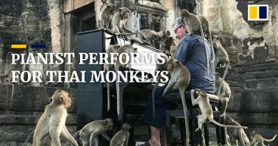 Pianist performs dwell performance for a entire lot of monkeys in Thailand