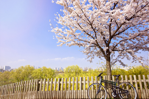spring has sprung_bicycle_cherry blossom