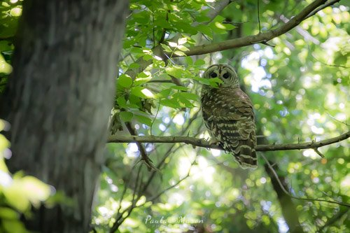 The Barred Owl at Colleyville Nature Center