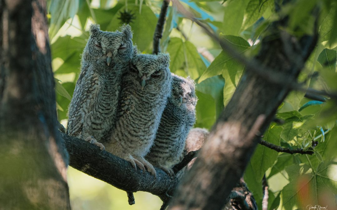 Baby Owls In My Backyard…What An Amazing Sight for This Bird Nerd