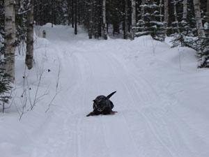 hundarna springer i skogen
