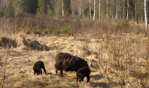 svarta lamm