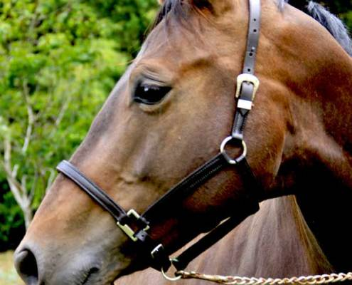 Image of a bridle on horse handcrafted by Paul Buckland