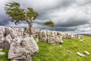 Two trees on limestone pavement