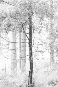 Single Tree in monochrome