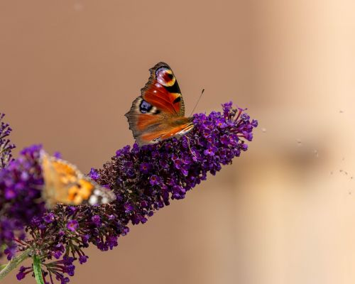 Peacock Butterfly and Painted Lady