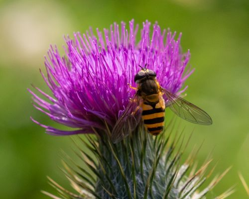 Hover Fly on Thistle