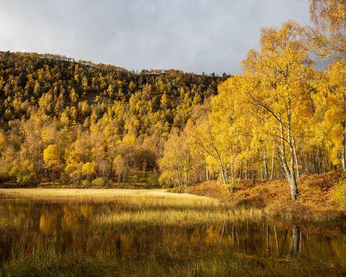 Birch reflected