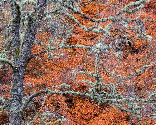 Birch and beech
