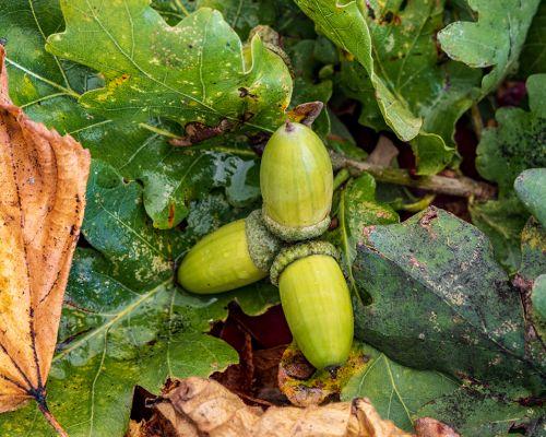 Trio of acorns