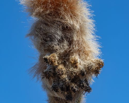 Head of a Cactus