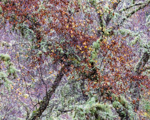 Bech, birch, lichen