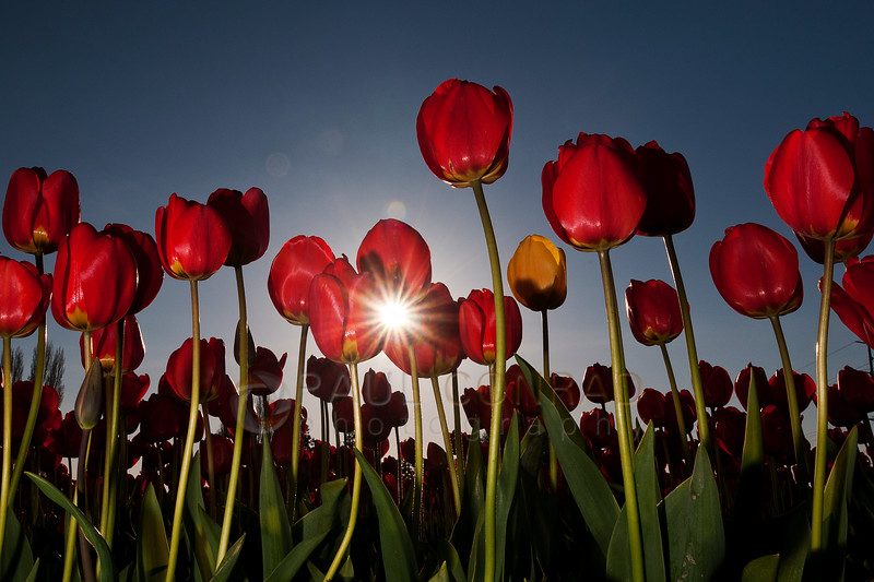 © Paul Conrad/Pablo Conrad Photography - Tulips blooming at Rozengaarde Tulip Farm in Skagit County, Wash.