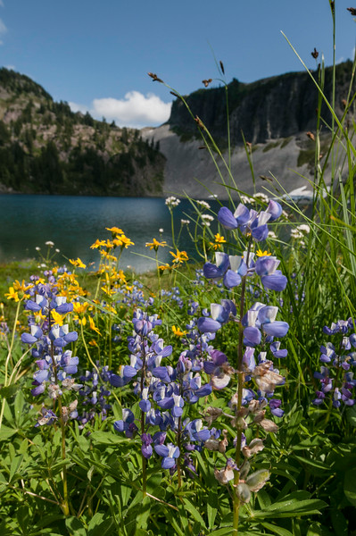 © Paul Conrad/Pablo Conrad Photography - Wildflowers along  the shore of Iceberg Lake.