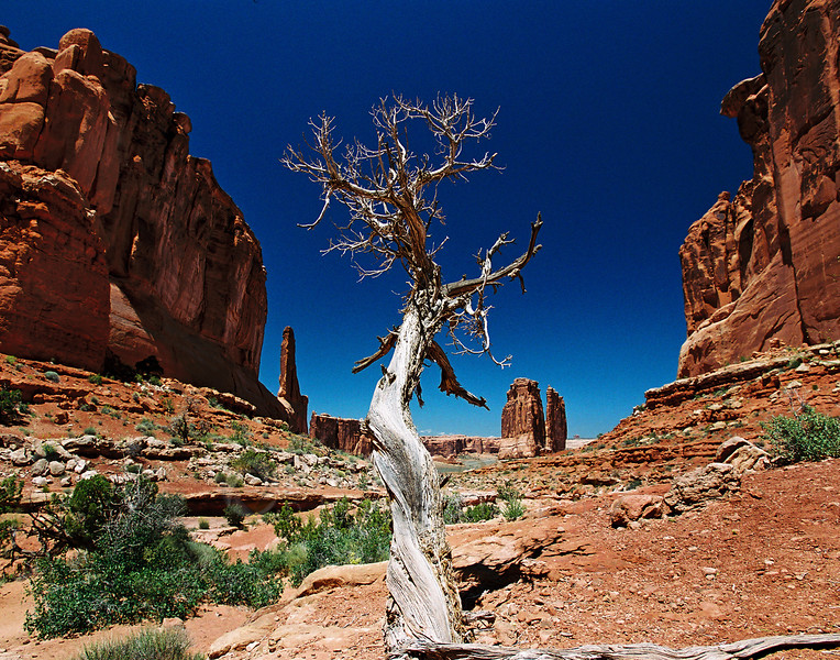 © Paul Conrad/Paul Conrad Photography - A dead piñon on the Park Avenue Trail in Arches National Park near Moab, Utah.