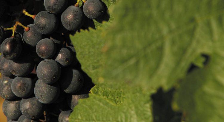 grape de raison dans les vignes de la côte chalonnaise