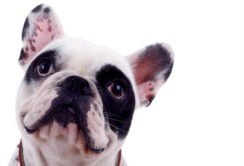 Intrigued French Bulldog