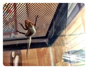 Daniel's Lizard is Hanging Out
