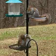 Bird feeders turned into squirrel feeders