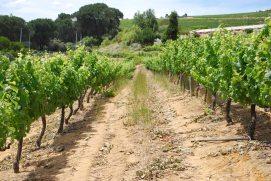 The vineyards of Zevenwacht