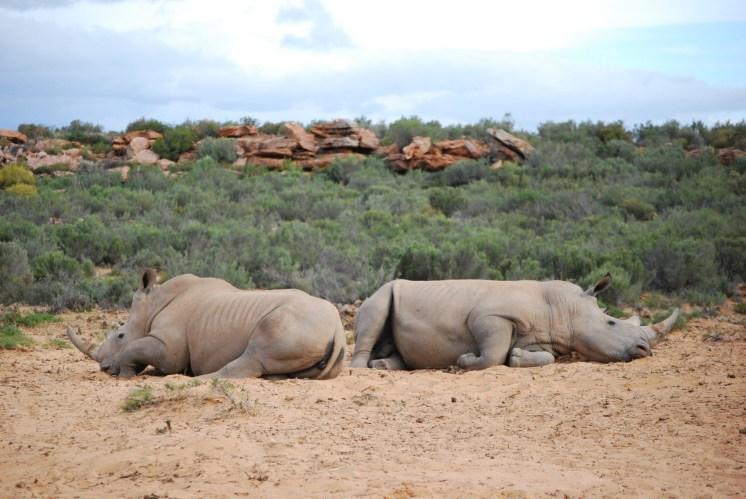Still no joy for the rhino