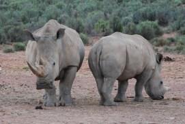 The happy rhinos