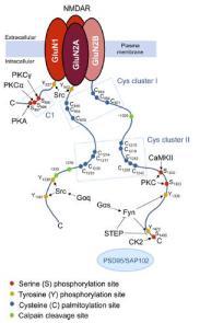 Intracellular modulation of NMDA receptors