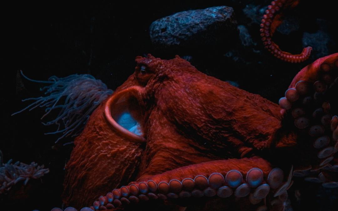 A photo of an octopus