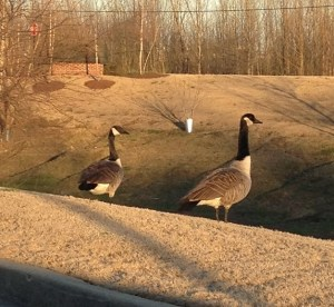 geese013013