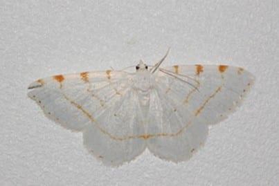 Lesser maple spanworm (Speranza pustularia)