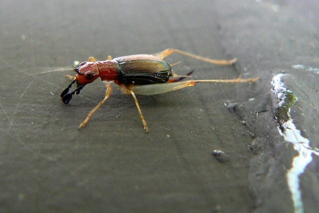 """Red-headed Bush Cricket (Phyllopalpus pulchellus), whose species name """"pulchellus"""" translates into """"beautiful."""""""