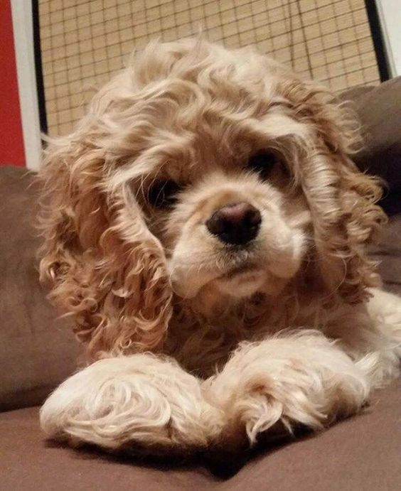 20 Things All Cocker Spaniel Owners Must Never Forget The