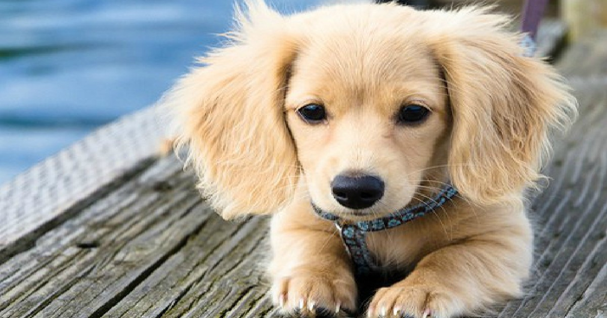 34 UNREAL Dachshund Cross Breeds Youve Got To See To Believe