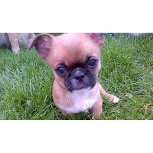 Ideal Va Meet Tippy A Dog Pug Pekingese Chihuahua Mix Chihuahua
