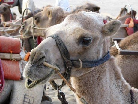 Dunhuang - pustynia, wielbłądy ibuddyjskie groty 31
