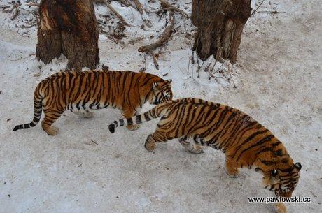 Rezerwat tygrysów syberyjskich w Harbin
