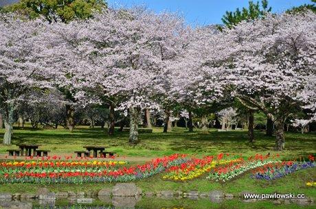 Hanami - japońskie święto kwitnącej wiśni (sakura) 1