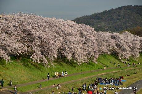 Święto kwitnienia wiśni w Japonii