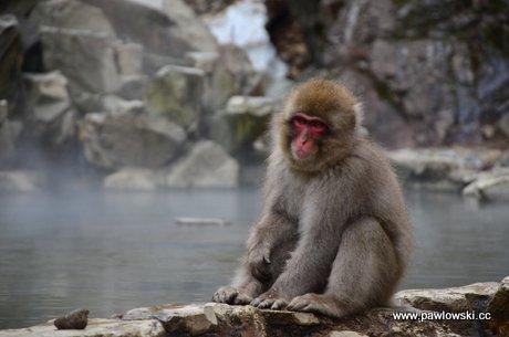 Japonia - Jigokudani Wild Snow Monkey Park 1
