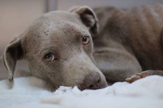 They found an abandoned, starving pit bull on the road. She was taken to Dr. Andy Mathis where he realized that she was hypothermic and suffering from a vaginal prolapse.