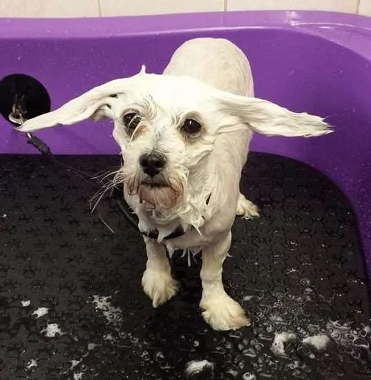 A very wet dog being shampooed