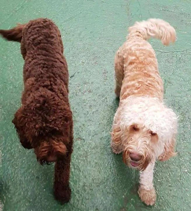 Hypoallergenic dogs for allergy sufferers - The Paw Pad