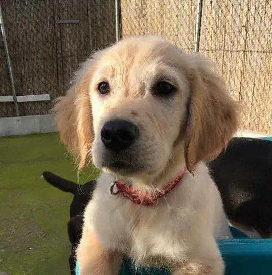 A golden retriever puppy looking very cute