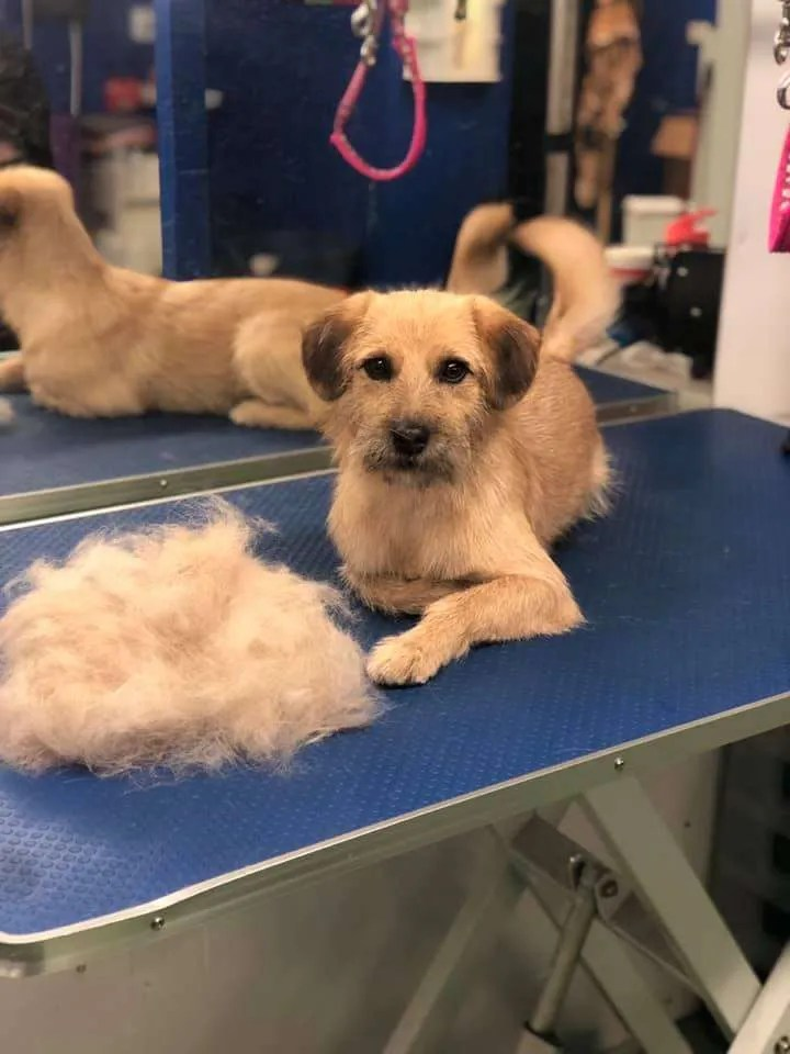 A freshly groomed dog sat next to a pile of his fur