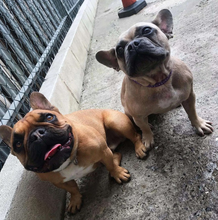 Frank and Rosie the French Bulldogs