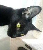 Meet my fellow diabetic cat Belladonna