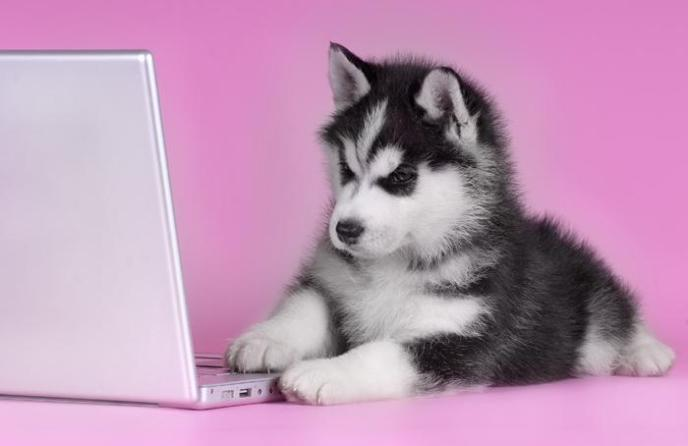 Husky on laptop