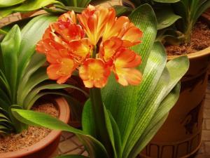 Kaffir Lily Poisonous Plant For Pets