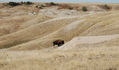 A bison on the prairie
